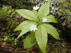 Starflower - shade (as seen in Southern Living)