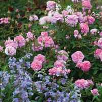 Perennial Combinations, Rose Combinations, Summer Borders, Planting Roses, Rose Gardening, Designing with Roses, English Roses, Rose The Mayflower, Penstemon Stapleford Gem, Rosa The Mayflower, Pink English Roses, Beardtongue Stapleford Gem
