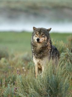 Choose your favorite wolf photographs from millions of available designs. All wolf photographs ship within 48 hours and include a money-back guarantee. Wolf Love, Bad Wolf, Wolf Spirit, Spirit Animal, Wolf Pictures, Animal Pictures, Nature Pictures, Wild Life, Beautiful Creatures
