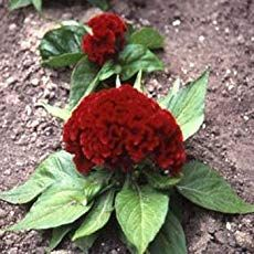 Celosia Plant Care How To Grow The Cockscomb Flower Celosia Flower Flower Seeds Flowers