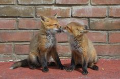Red fox babies are called kits. Red foxes mate in January and have their kits around march. Fox kits learn early on how to survive in the wild. Pretty Animals, Cute Funny Animals, Baby Red Fox, Animal Pictures, Cute Pictures, Excited Animals, Fox Information, Fox Species, Animal Movement