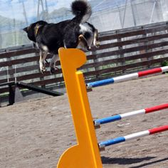 Shiba doing agility training