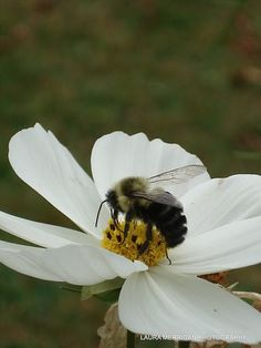 love seeing bumble bees in my garden...means more flowers