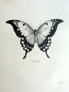 Wonderful antique butterfly print original 1860 by TheLyraNebula, $25.00