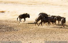 Blue wildebeest mating (South Africa side) @ Kgalagadi Transfrontier Park in #SouthAfrica. See our #Kgalagadi travel guide: http://www.safaribookings.com/kgalagadi
