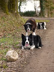 border collies are serious and funny at the same time  (OMG~three border collies verses one squashed soccer ball)
