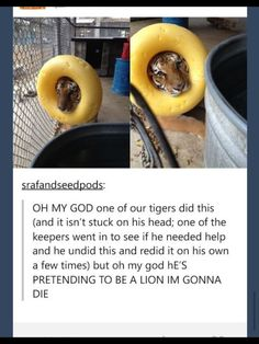 """This tiger with big dreams. Seriously a """"d'awwwww"""" moment. So adorable"""