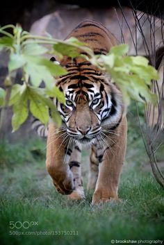Sumatran Tiger by brookshawphotography