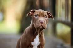 Pitbulll Buy A Dog, South Africa, Dogs And Puppies, Pitbulls, Pets, Animals, Lakes, Animales, Pit Bulls