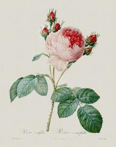 Rosa Centifolia 0022v   Look Back Art