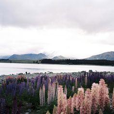 Lake Tekapo: Lupin
