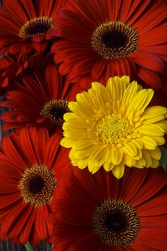 Red Mums And Yellow Daisy by Garry Gay Purple Flowers Wallpaper, Flower Iphone Wallpaper, Beautiful Flowers Wallpapers, Beautiful Rose Flowers, Amazing Flowers, Pretty Flowers, Red Flowers, Beautiful Gardens, Red Pictures