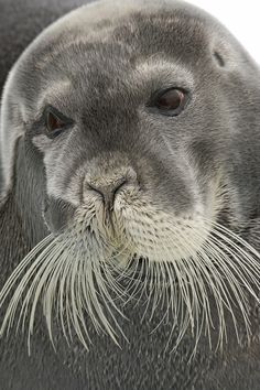 Bearded Seal by Paul Marshall