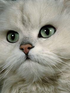 chat tout blanc                                                                                                                                                                                 Plus