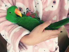 Happy the Eclectus parrot