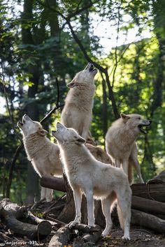 "wolveswolves: "" Arctic wolves (Canis lupus arctos) at Tiergarten Schönbrunn, Austria Picture by Mladen Janjetovic """