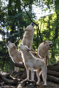 Arctic wolves (Canis lupus arctos) at Tiergarten Schönbrunn, Austria Picture by Mladen Janjetovic