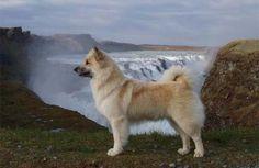 Íslenskur fjárhundur - icelandic sheepdog