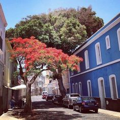 Amazing colors on this tree! Street in Mindelo, Sao Vicente #CaboVerde #CapeVerde