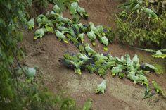Blue-headed Pionus parrots in Yasuni National Park, Ecuador