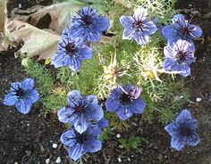 "Nigella ""Curiosity"" from @Annie's Annuals"