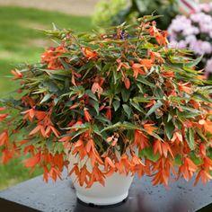 F1 Bossa Nova® - Begonia | Floranova Large Containers, Begonia, Hanging Baskets, Flower Beds, Looking Stunning, F1, Salmon, Nova, Bloom
