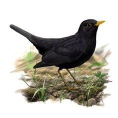 Merla (Turdus merula) Merle, Crows Ravens, Blackbirds, Bird Illustration, Pictures To Paint, Dolphins, Prints, Painting, Etchings