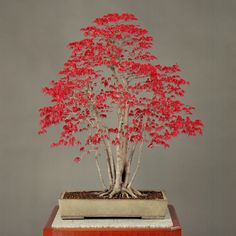 Bonsai at the Imperial Palace- De-Shojo Bright reddish leaves cover a ''De-Shojo'' momiji tree in the budding season in April, as shown in a photo. Most of those leaves turn green in summer, but some remain red. They turn red again in autumn before the tree loses leaves toward winter.