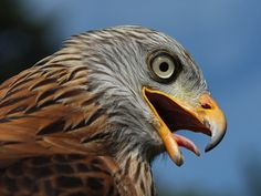 Sweating Red Kite - Schwitzender Rotmilan