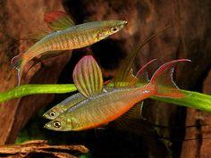 Name:  Iriatherina_werneri_threadfin_rainbowfish_600x450.jpg Views: 2073 Size:  85.9 KB