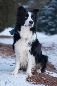 Border collie puppy dog by Victorian Rose