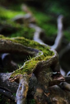 Moss growing out of a crevice in the roots of a tree at Nanzen-in