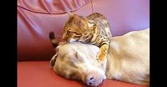 Silly Cat! Watch Him Perform Hypnotherapy On His Dog BFF. Too Funny! | The Animal Rescue Site Blog