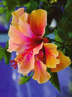 Hibiscus: Another flower to put in my family tribute tattoo. My Grandfather loved Hawaii and the first thing I think of when I think of Hawaii is the Hibiscus flower. Hibiscus Flowers, Exotic Flowers, Tropical Flowers, Amazing Flowers, Beautiful Flowers, Hibiscus Garden, Hawaii Flowers, Lilies Flowers, Blue Hibiscus