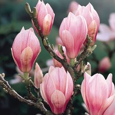 Magnolia soulangeana - plant up the potted one in front garden
