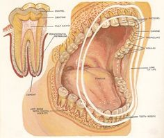 Mouth Science... Here's a diagram of the mouth and jaws of an adult human showing the position of the teeth. The top left is the structure of a molar tooth. (resource: http://www.daviddarling.info/encyclopedia/T/teeth.html)