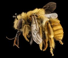 Eucera fulvohirta, M, Baker County, Georgia, ZS PMax Bee Identification, Photography Set Up, Humble Bee, Bees And Wasps, Insect Art, Bee Art, Save The Bees, Bees Knees, Bee Keeping