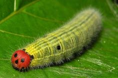 Hesperiid (skipper) caterpillar of the subfamily Coeliadinae (Awls and Awlets).
