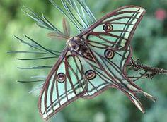 """Actias isabellae Grlls adulte - ©David Demerges    """"Le papillon est un mot d'amour plié en deux"""" Jules Renard"""