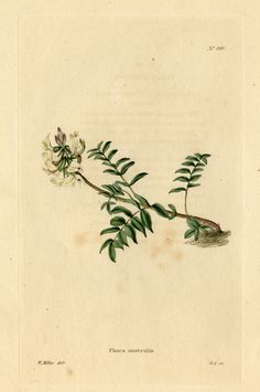 Loddiges_490_Phaca_australis_drawn_by_W_Miller.jpg (1800×2711)