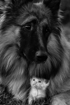 GSD & friend. What wonderful expressions!❤️