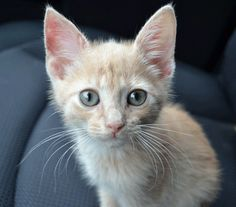 This is Wren.  He was a foster cat of ours at the end of 2011.  I picked him up at the kitten cottage when he weighed about a pound, and kept him until he grew large enough for surgery.  He was adopted by a nice lady and her family from Pensacola -- we drove half-way to get him to his new owner.  His name is Tabasco now, and he was a lot of fun to have around.  We miss you, Wren!