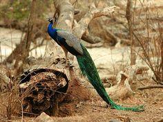 Panna National Park and Tiger Reserve, Madhya Pradesh, India