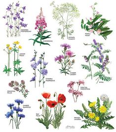 Poster with drawing Wildflowers collection ecological paper .- Plakat z rysunkiem Kwiaty polne zbiór papier ekologiczny Wildflowers collection poster digital print drawing of forest and sky - Botanical Drawings, Botanical Prints, Flower Names, Flower Art, Art Floral, Types Of Flowers, Wild Flowers, Wildflower Drawing, Wildflower Tattoo