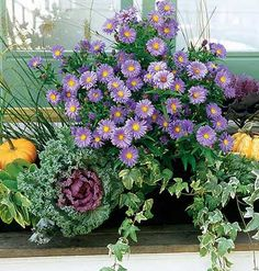 Autumn Window Box: astors, ornamental cabbage/kale, ivy, small orange gourds or pumpkins, These plants prefer strong indirect light or light shade. Window Boxes, Flower Pots, Autumn Garden, Beautiful Flowers, Ornamental Cabbage, Fall Flowers, Garden Boxes, Flowers, Fall Window Boxes