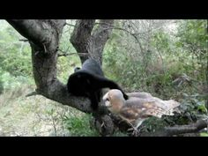 Fum (the black house cat) & Gebra (the barn owl) • One of the best animal vids ever!