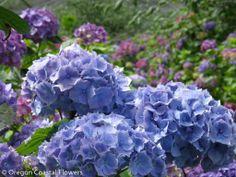 Fresh Sky Blue Hydrangea Wedding Flowers