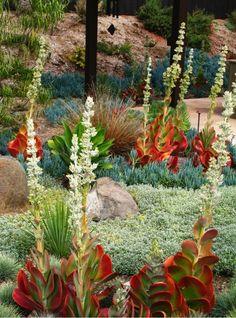 Kalanchoe Luciae, Blue Fescue, Agave Attenuata, Senecio Serpens, Cerastium tomentosum, snow in summer, Carex buchananii,