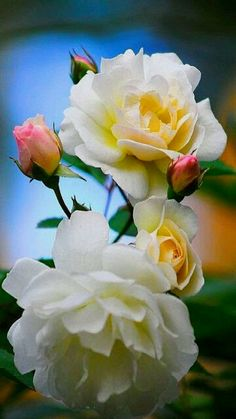 Just love these roses.... #RoseGarden