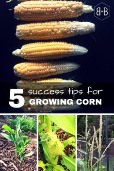 How to Grow Corn • Bee and Basil Home Grown Vegetables, Organic Vegetables, Growing Vegetables, Planting Vegetables, Growing Plants, Gardening For Beginners, Gardening Tips, Growing Sweet Corn, Corn Plant
